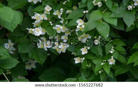 jasmine an Old World shrub or climbing plant that bears fragrant flowers used in perfumery or tea. It is popular as an ornamental. fluminense  Gold Coast Jasmine #1561227682