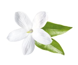 Jasmine blossom with leaves, isolated