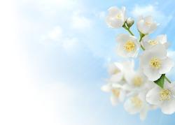 Jasmine blossoms against blue sky, corner design element