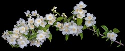 Jasmine branch with blooming white flowers isolated on a black background.