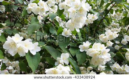 Jasmine bush with white flowers ez canvas jasmine bush with white flowers mightylinksfo