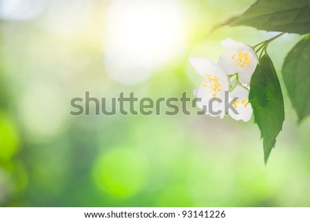 Picture Jasmine Flower on Jasmine Flower Against Green Natural Sunny Background Stock Photo