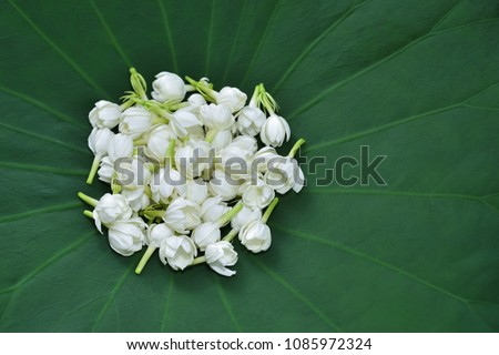 Jasmine flower blooming on fresh green lotus pad
