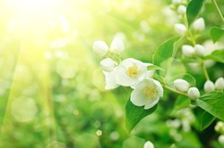 Jasmine flower growing on the bush in  garden with sun rays and bokeh
