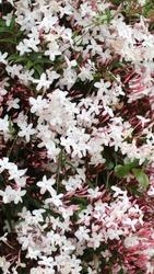 Jasmine flower (jasminum officinalis). Beautiful fragnace flower with white pinkish color.