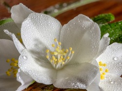 Jasmine flower on the old wood background,select focus