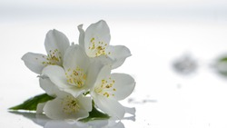 Jasmine flower on the white background,select focus