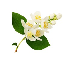 Jasmine flowers and leaves isolated on white.