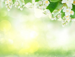 Jasmine flowers and leaves over sunlit garden bokeh background, abstract spring background with copy space