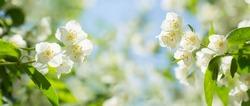 Jasmine flowers in a garden. Spring background