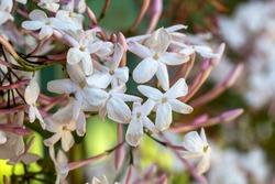 Jasmine flowers in garden (Jasminum Polyanthum).