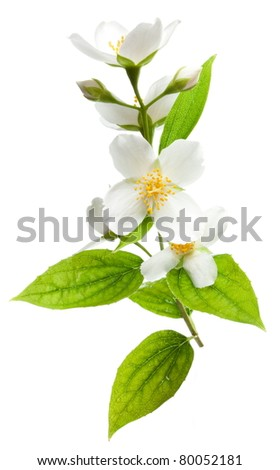 Jasmine flowers isolated on a white background.