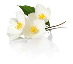 Jasmine flowers on white background. Macro shot