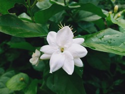 jasmine flowers that are blooming in the morning, have a fragrant aroma, good for making tea more fragrant
