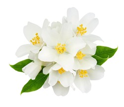 Jasmine flowers with leaves isolated on white background