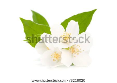 Jasmine isolated on white background
