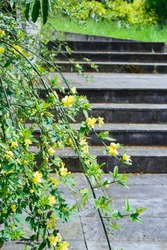 jasmine shrub branches with yellow blooming flowers on stone steps background, dendrological park Sochi Russia, vertical outdoors stock photo image