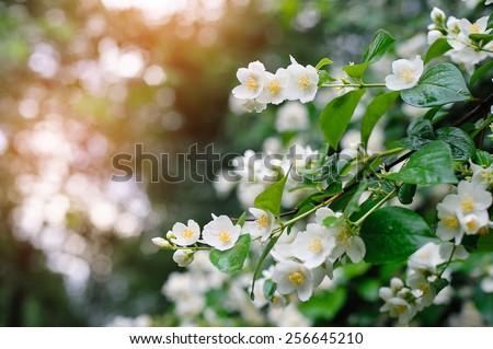 jasmine spring flowers with raindrops.