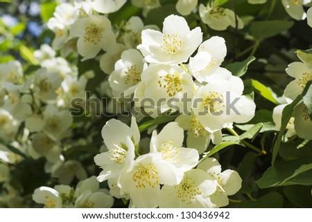 Free photos closeup macro of a jasmine flowers on a bush flowers jasmine white flower bush blossoms at spring 130436942 mightylinksfo