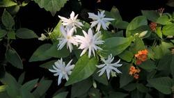 Jasminum multiflorum, commonly known as star jasmine