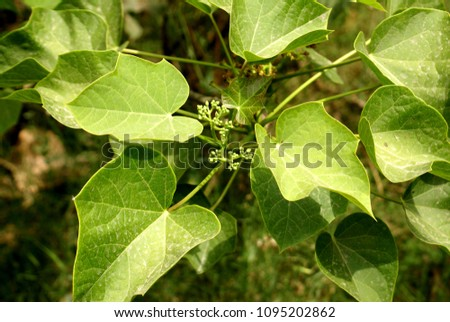 Jatropha curcas, Physic nut, Barbados nut, semi-evergreen shrub or tree with 3-5 lobed leaves, small male flowers in clusters and blackish seeds used as biodiesel fuel.