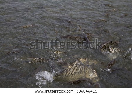 Java barb, Silver barb fish bustle eat feed in farm, Closeup scene stock photo