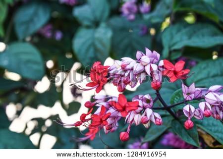 Java glory bean, red bleeding heart vine, glory bowers with blurred background.