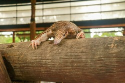 Java Pangolin climbs a wooden log.. Manis javanica on wood construction. It was smuggled in Asia. Because it is popularly consumed and its scales are an ingredient in Chinese medicine. Wildlife crime