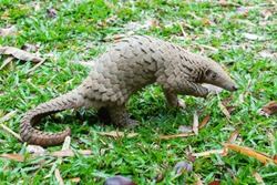 Java Pangolin (manis javanica) on green grass. It was smuggled in Asia. Because it is popularly consumed and its scales are an ingredient in Chinese medicine. Wildlife crime.
