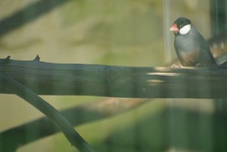 Java sparrow is small passerine feathered creature. This estrildid finch is resident breeding in Java Bali Bawean in Indonesia It is popular cage bird and has been introduced into many other countries
