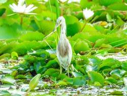 Javan pond heron bird standing on red lotus leaves in pond