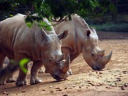 Javan rhino, or small one-horned rhino (Rhinoceros sondaicus)