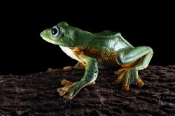 Javan tree frog closeup face on black background , rhacophorus reinwardtii tree frog