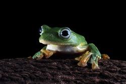 Javan tree frog closeup face on black background, rhacophorus reinwardtii tree frog