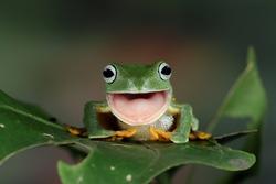 Javan tree frog front view on green leaves, Flying frog look like laughing, flying frog shedding skin on green leaves, flying frog open mouth on green leaves