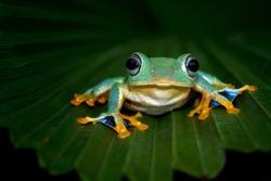 Javan tree frog front view on green leaves, Flying frog sitting on green leaves, beautiful tree frog on green leaves, rachophorus reinwardtii