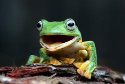 Javan tree frog male closeup face, rhacophorus reinwardtii tree frog