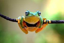 javan tree frog, wallace frog, flying frog, racophorus reinwardti