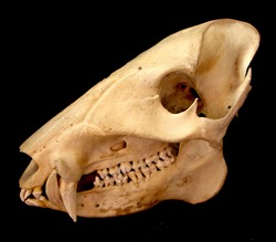 Javelina, Collared Peccary  Skull and Jawbone With Teeth
