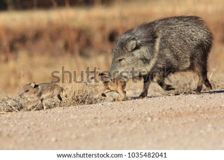 Shutterstock Javelina in Bosque del Apache National Wildlife Refuge, New Mexico