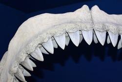 Jaw with shark sharp teeth. Bone jaw shark. Shark jaws closeup. Shark teeth on a dark background. Open mouth of a predator marine fish. Museum exhibit.