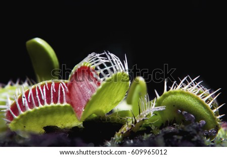 Jaws of a venus flytrap carnivore plant. high contrast picture with black background. Nature concept