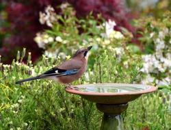 Jay Bird in Garden with Bird Bath