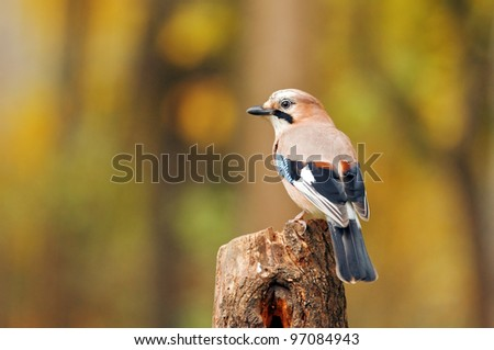 jay bird on twig close up - stock photo