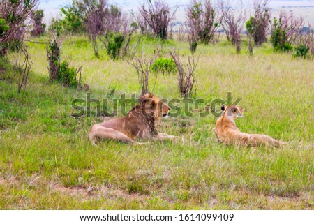 Jeep - safari in spring in the African savannah. Kenya, Masai Mara Park. Young lion and lioness after a hearty lunch. Concept of exotic, extreme tourism and photo tourism