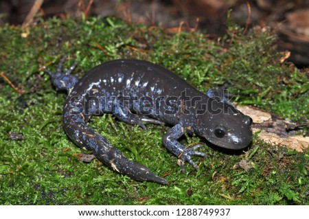 Jefferson Unisexual Ambystoma salamander