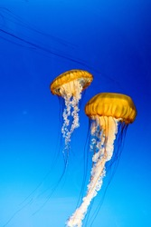 jelly fish Beautiful jellyfish, medusa in the neon light with the fishes. Aquarium with blue jellyfish and lots of fish.  with corrals and ocean wildlife. Underwater life in ocean jellyfish.
