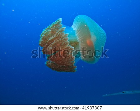 Jelly fish Rhizostome cnidarians, Great Barrier Reef Australia