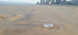 Jelly fish washed up on paradise beach