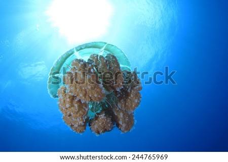 Jellyfish at Andaman sea Thailand #244765969